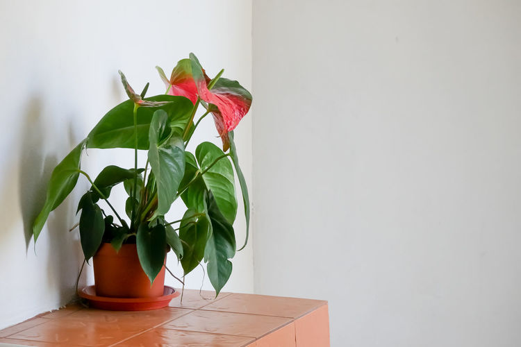 Plant Part Leaf Plant Indoors  Nature Red Potted Plant Green Color Wall - Building Feature Flowering Plant Table No People Flower Freshness Beauty In Nature Copy Space Growth Rose - Flower Vase Home Interior Houseplant Flower Head Flower Pot