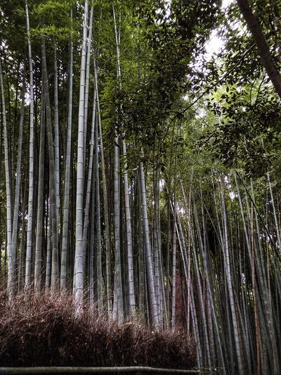 Bamboo Forest Kyoto Japan Bamboo Grove Arashiyama Bamboo Grove Arashiyama Tree Plant Forest No People Nature Full Frame Growth Low Angle View Day Backgrounds Outdoors Beauty In Nature Tranquility Foliage Lush Foliage