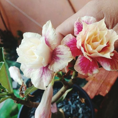 Adenium Adeniumflowers #rosadodeserto Flower Petal Flower Head Nature Fragility Beauty In Nature Close-up
