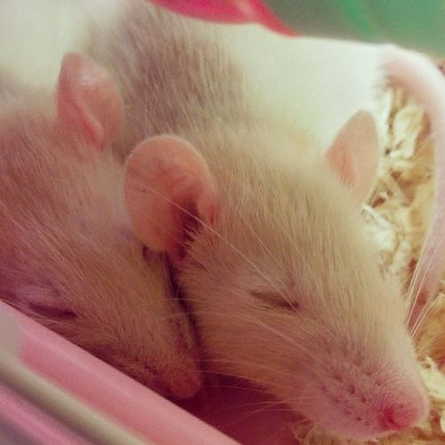 Sleeping FancyRat Rat Sleep Cute pet