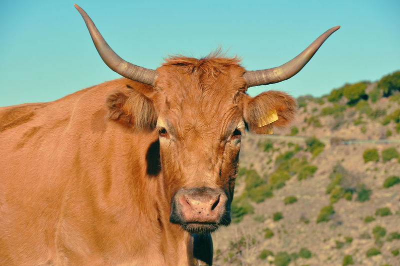 Portrait of cow