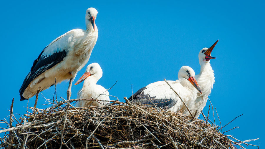Animal Themes Animal Wildlife Animals In The Wild Bird Bird Nest Blue Day Low Angle View No People Outdoors Stork White Stork