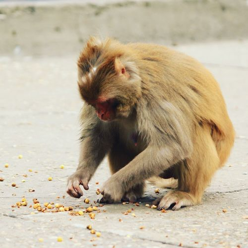 Monkey picking food while sitting on footpath