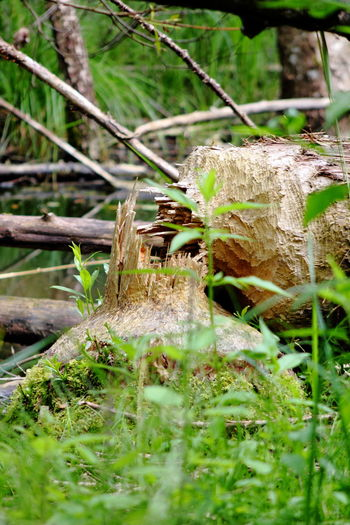 Beauty In Nature Beaver Work Biber's Werk Green Nature Outdoors Plant Tranquil Scene Wood Perspectives On Nature
