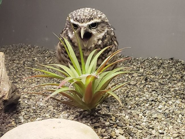 Rock - Object Grass Burrowing Owl Pennsylvania Pittsburgh Tourism Beautiful Beauty In Nature Tranquility Tranquil Scene National Aviary Aviary Wildlife Wildlife & Nature Portrait Owl Animal Themes Close-up Bird Of Prey