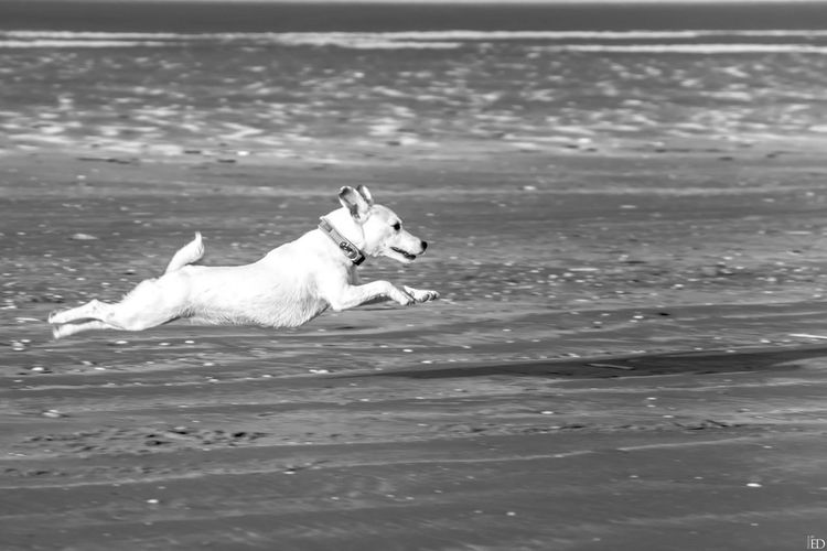 Jack Russell Flying Dog Beach Sea Blackandwhite