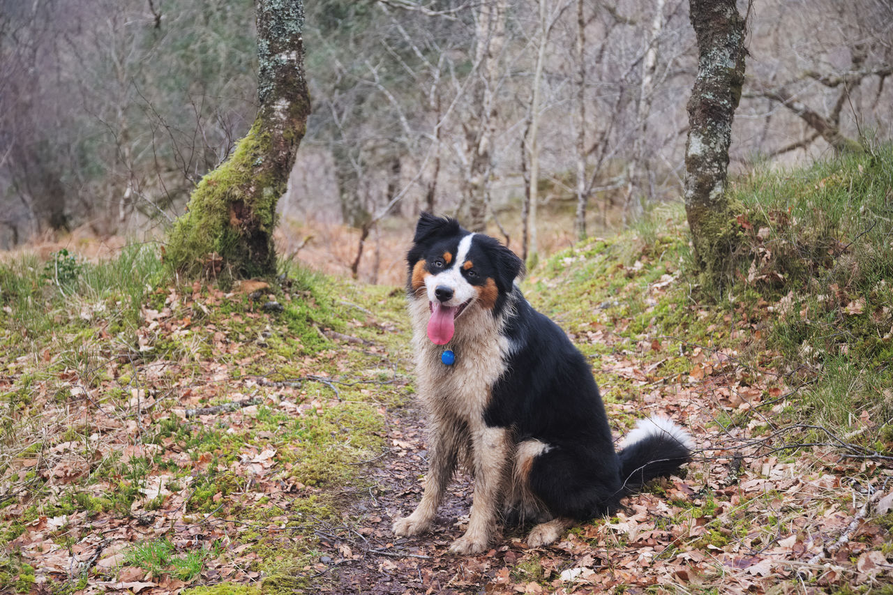 mammal, animal themes, one animal, domestic animals, dog, canine, domestic, animal, pets, tree, plant, vertebrate, land, nature, forest, day, border collie, no people, sitting, portrait, outdoors, panting, purebred dog, animal head