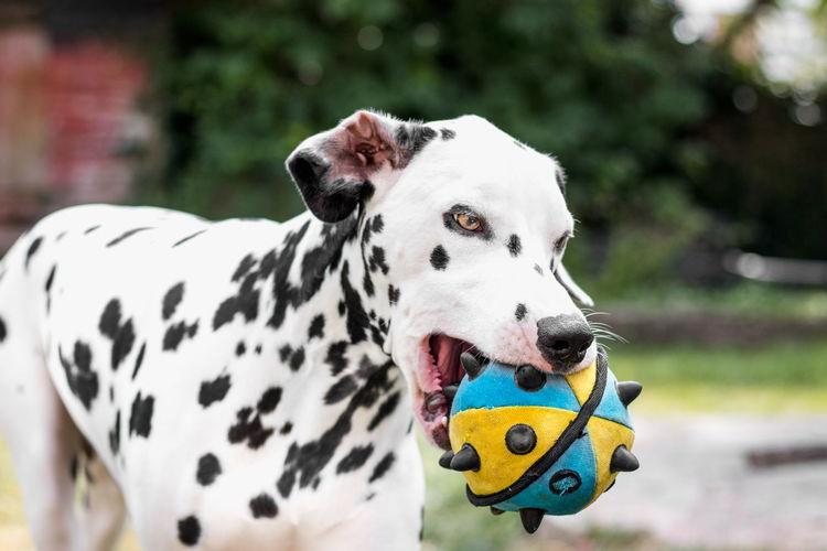 Close-Up Of Dalmatian Holding Ball