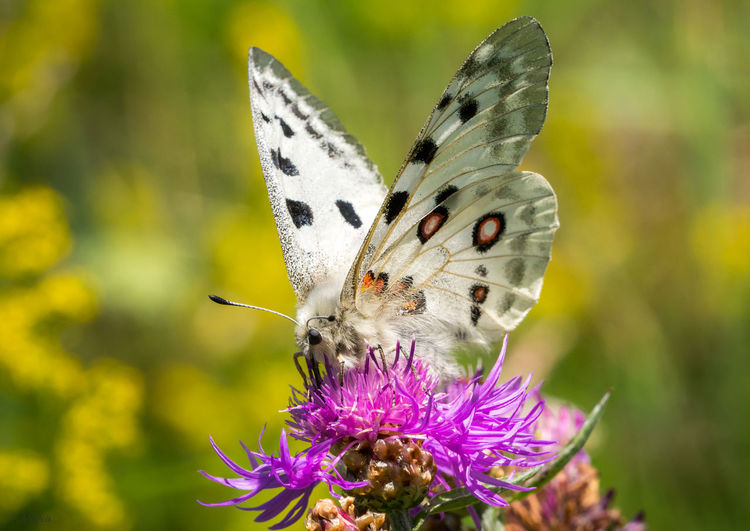 Apollo Beauty In Nature Butterfly Finland Fragility Macro Nature Outdoors Papilionidae Parnassius Apollo