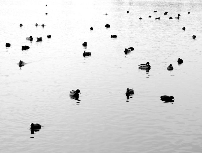 Abstraction Birds Blackandwhite Ducks High Contrast Lake Swimming Water Birds