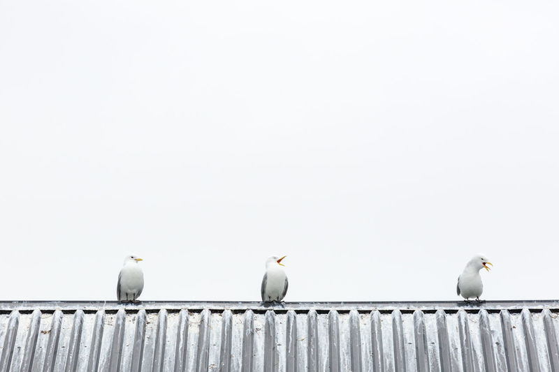 Look carefully from the left to the right to fully enjoy the evolution of a caw. ;-) Seagulls perching on the roof a a barn. Animal Themes Animals Avian Beauty In Nature Birds Caw Cawing Focus On Foreground Funny Medium Group Of Animals Minimalism Nature Overcast Perching Pivotal Ideas Roof Rooftop Seagull Seagulls Shades Of Grey Simplicity Sky White White Background Wildlife