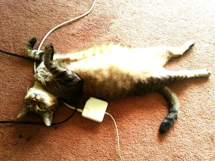 Cat belly up tangled in computer cords Pets, Cat In Heaven, Kitty Cat carpet, striped grey cat,