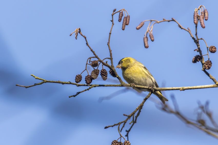 An eurasian siskin is sitting on a branch Bird,  Branches Carduelis Spinus Eurasian Siskin Nature Songbird  Tree Animal Themes Animals In The Wild Birds Birds World, Branchlet Close-up Day Feather  Landscape Nature No People Outdooprs Outdoors Plumage Singing Bird