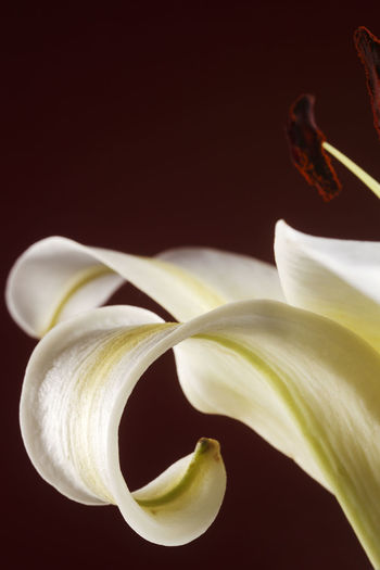 close up of the yellow lily Flower Flowering Plant Freshness Plant Close-up Lily Lily Flower Floral Petal Nature Summer Blossom White Spring Decoration Color Flora Blooming Bright Bouquet Leaf Green Bud Single Object Pretty Elégance Art Inflorescence Flower Head Beauty In Nature Vulnerability  Fragility No People Growth