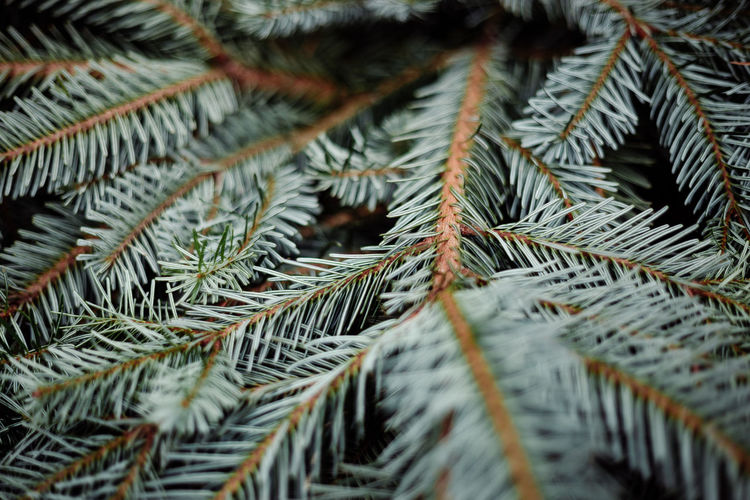 Close-up of pine tree leaves