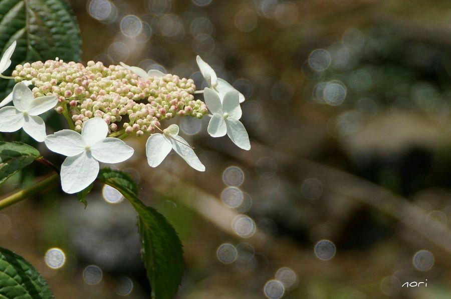 煌めき✨の午後… あじさい 紫陽花2015Photo ボケ味ふぇち Bokeh Hydrangea Flower Collection Light And Shadow キラキラ Beautiful Flower Kagoshima