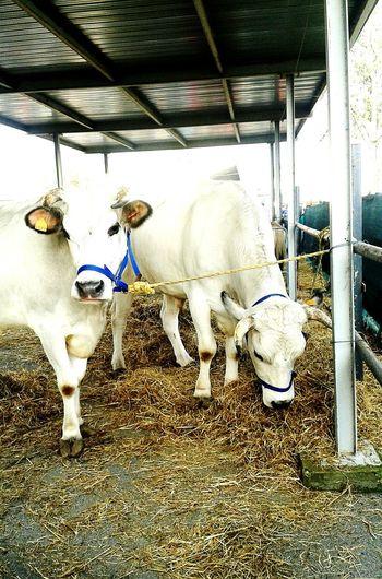 Due esemplari di mucche da latte, Fiera di Codogno 🐮