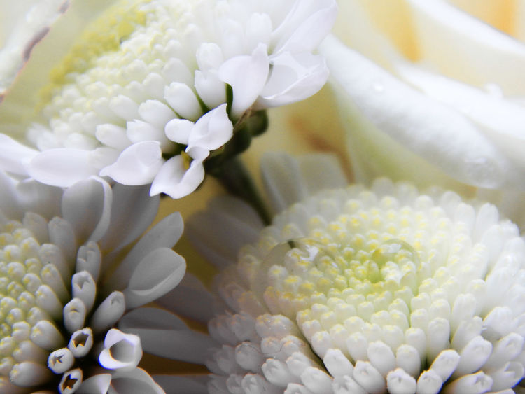 Close-up Day Flower Flower Head Fragility Freshness No People White Color
