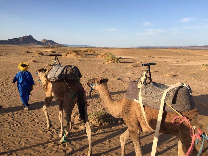 Rear view of mature man with camels walking at desert against sky