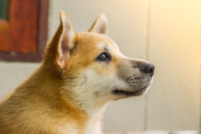 Blur background of young dog Animal Themes Brown Close-up Day Dog❤ Domestic Animals Domestic Cat Eye Feline Focus On Foreground Indoors  Look Out Mammal No People One Animal Outdoor Pets Picture Blurry Sunlight ☀