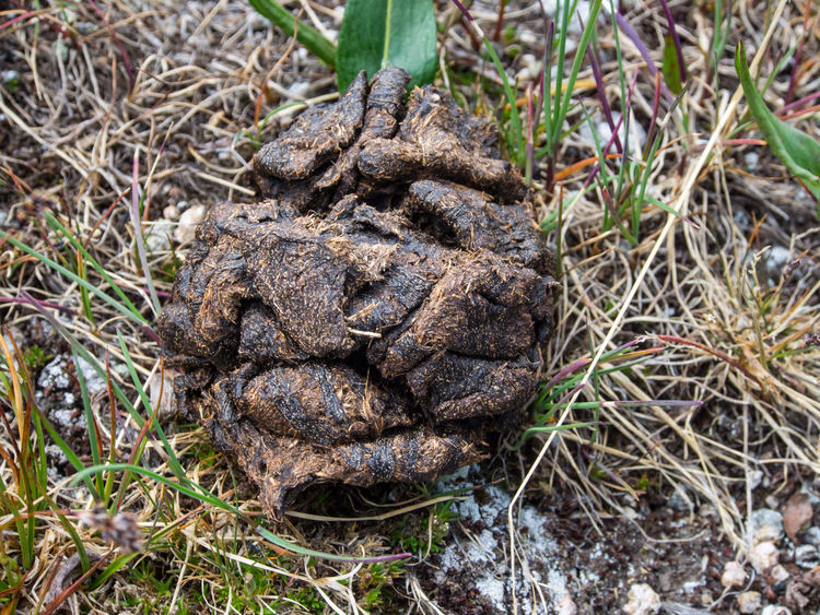 A pile of elk droppings. Elk Poop Animal Animal Dung Beauty In Nature Close-up Day Directly Above Dirt Droppings Dung Feces Field Focus On Foreground Food Grass High Angle View Land Mammal Nature No People Outdoors Plant Textured  Wildlife