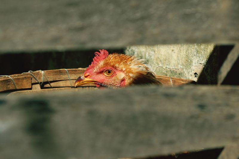 Hen seen through fence