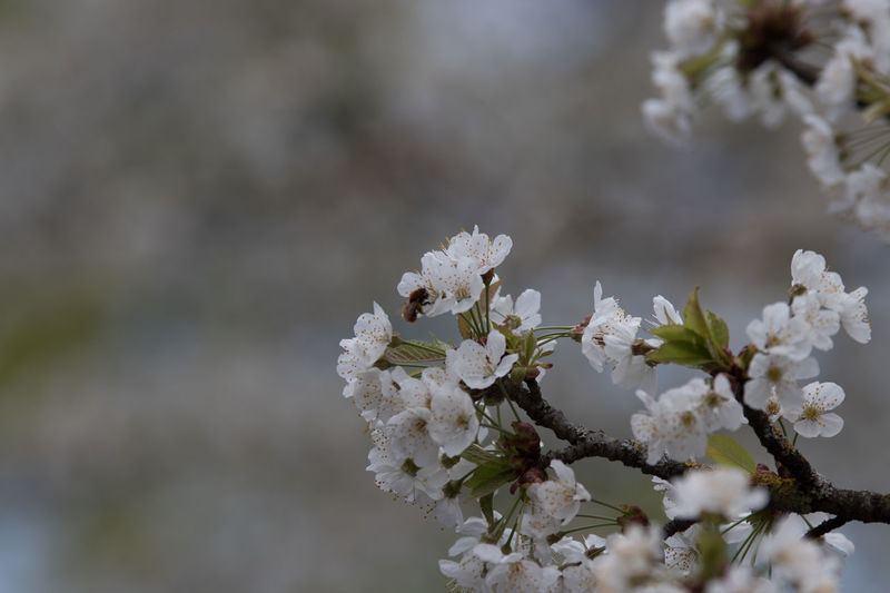 Beauty In Nature Blossom Cherry Blossom Cherry Tree Close-up Day Flower Flower Head Flowering Plant Focus On Foreground Fragility Freshness Growth Inflorescence Nature No People Outdoors Petal Plant Pollination Springtime Tree Vulnerability  White Color