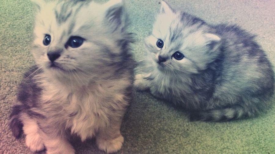 Cat Pet Kitten Cute