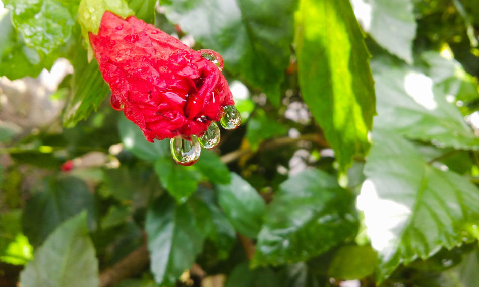 Nature Photography Raindrops Nature On Your Doorstep Hibiscus 🌺 Drops Droplets From My Point Of View Hibiscus Flower Buds Droplets, Water Droplets, Flowers  Droplets On Flower