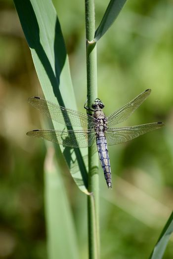 Nikon Nikon D3300 Amateurphotography Animal Animal Themes Animal Wildlife Animal Wing Animals In The Wild Blade Of Grass Close-up Damselfly Day Dragonfly Focus On Foreground Green Color Growth Insect Invertebrate Nature No People One Animal Outdoors Plant Plant Part Zoology