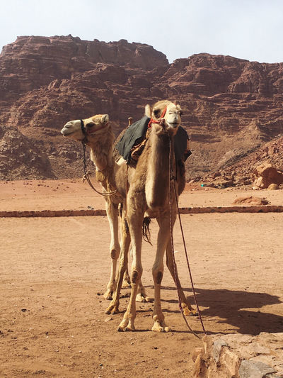 View of camels on desert