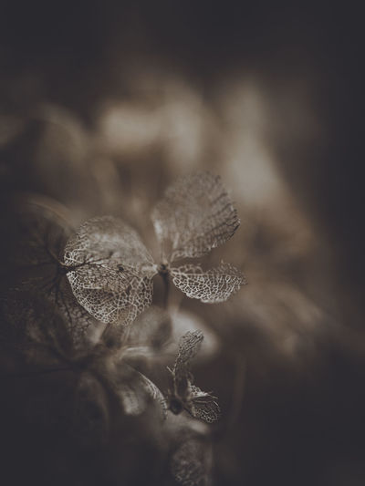 Dark and moody macro dead hydrangea skeleton Close-up Selective Focus Plant Growth No People Beauty In Nature Nature Vulnerability  Fragility Day Flower Leaf Tranquility Plant Part Focus On Foreground Freshness Dry Outdoors Flowering Plant Botany Flower Head Wilted Plant