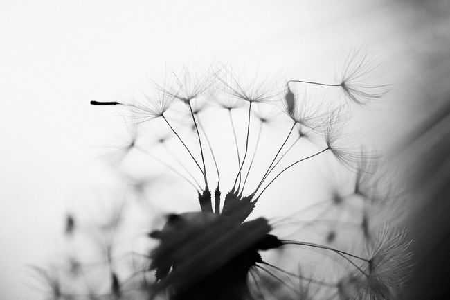 Beauty In Nature Black And White Blackandwhite Close-up Dandelion Dandelions Day EyeEm EyeEm Nature Lover Flower Flower Head Fragility Freshness Growth Nature No People Outdoors Photography Plant Selective Focus