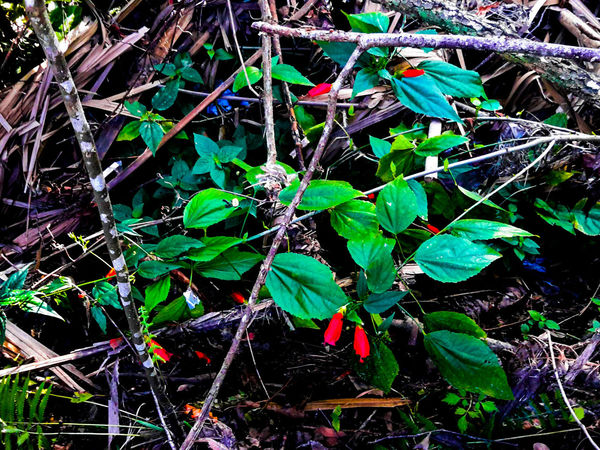 """""""Red Flowers in Wild"""" Redflowersinwild RedFlower Growth Nature Leaf Green Color Plant No People Beauty In Nature Outdoors Backgrounds Day Freshness Close-up Flowers"""