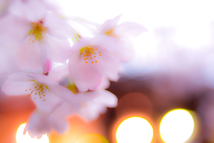 さくら Cherry Blossoms 桜 サクラ Flower Nature Petal Fragility No People Beauty In Nature Freshness Flower Head Close-up Pink Color