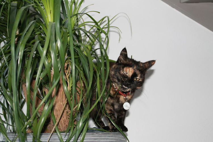 Tortoiseshell cat standing on potted plant against wall