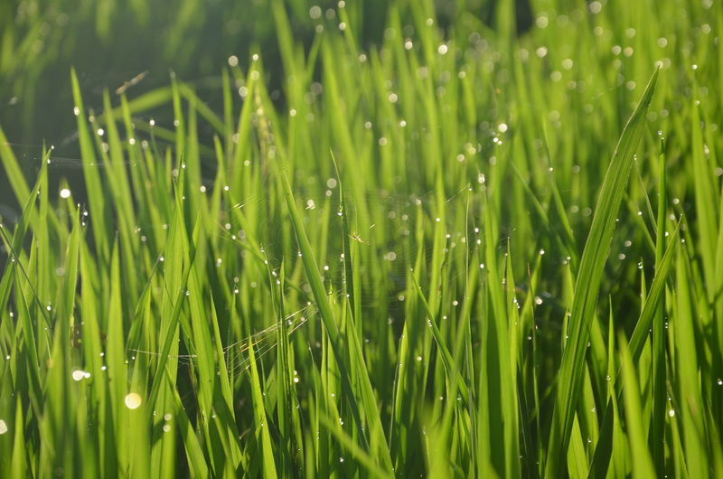 Grass Cereal Plant Backgrounds Rice Paddy Full Frame Springtime Drop Agriculture Field Close-up Grass EyeEmNewHere