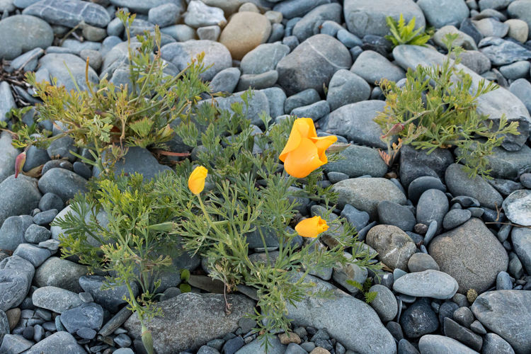 Life flourishes even from the most hostile ground Rock Plant Growth Solid Nature No People Rock - Object Day Beauty In Nature Flower Flowering Plant Stone - Object High Angle View Freshness Green Color Stone Land Outdoors Pebble Plant Part Flower Head Yellow Strong