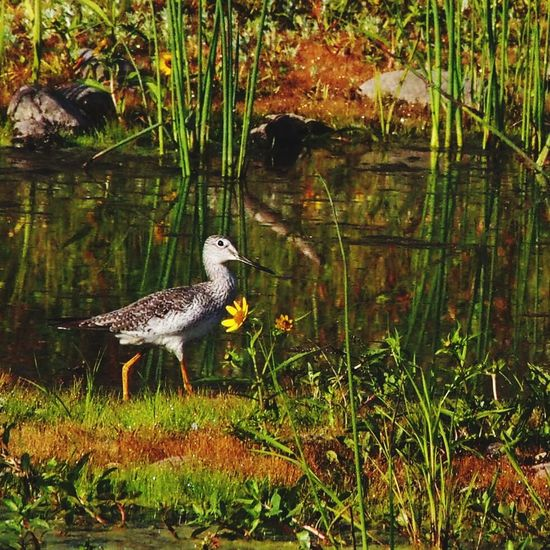 Yellowlegs has come to Delta Ponds to enjoy the autumn bounty. Bird Photography EyeEm Birds Birdwatching Birds Of EyeEm  Birds🐦⛅