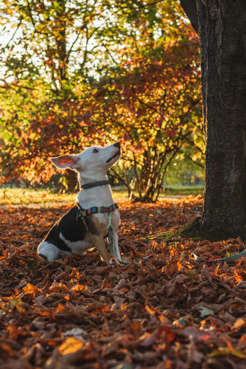 Animal Animal Themes Autumn Canine Change Dog Domestic Domestic Animals Jack Russell Terrier Land Leaf Leaves Mammal Nature No People One Animal Outdoors Pets Plant Plant Part Purebred Dog Tree Vertebrate