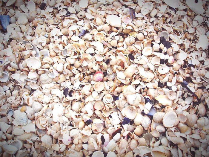 shells on beach of darss peninsula, baltic sea Weststrand Darß Baltic Sea Shells