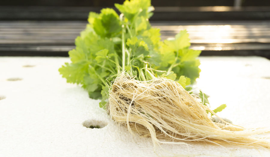 vegetable celery in greenhouse Hydroponics. Food Food And Drink Freshness Close-up Wellbeing Still Life Healthy Eating Indoors  Vegetable Focus On Foreground Green Color Table Plant Nature No People Plant Part Selective Focus Day Leaf Wood - Material Herb Vegetarian Food