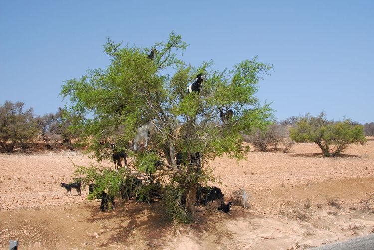 Morocco Marokko Tree Agan Öl Argan Öl Arganöl Oil Ziege Goat Argan Oil Klettern Climbing Goat Sapote Nuss Nut Landwirtschaft Agriculture Tree Growth Nature Animal Themes Plant Landscape Field Outdoors Animals In The Wild Domestic Animals Clear Sky