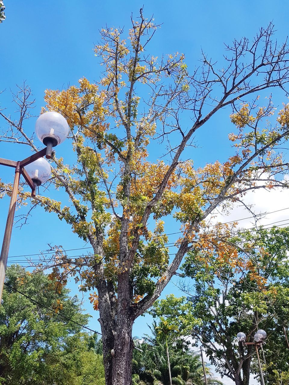 tree, plant, low angle view, growth, sky, branch, day, nature, beauty in nature, no people, flowering plant, flower, blue, lighting equipment, outdoors, clear sky, autumn, blossom, tranquility, springtime, cherry blossom