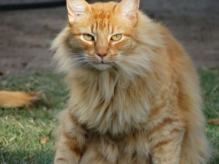 Domestic Cat Pets Domestic Animals One Animal Feline Animal Themes Mammal No People Portrait Day Indoors  Close-up