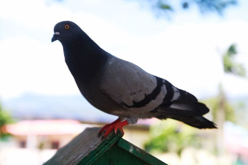 Pigeon at the