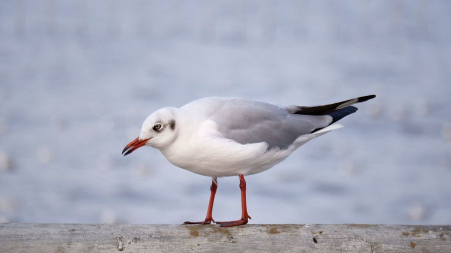 Close-up of seagull perching on wood