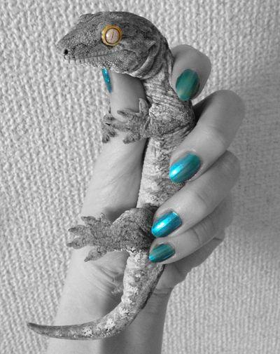ツギオミカドヤモリ ニューカレドニアジャイアントゲッコー やもり Gekko Gecko NewCaledonianGiantGecko Reptile