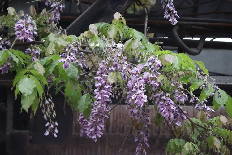 Close-up of purple flowering plants in yard