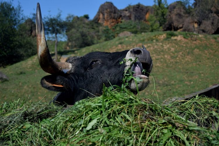 Horned cow eating grass